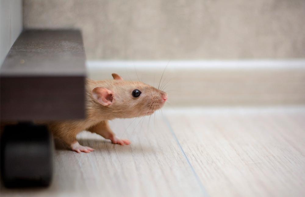 cómo eliminar ratas y ratones