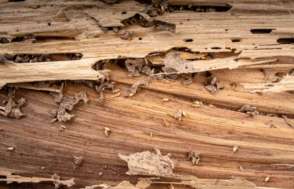 cómo detectar termitas