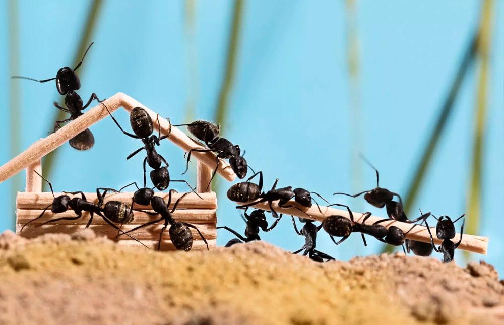 cómo encontrar un nido de hormigas en casa